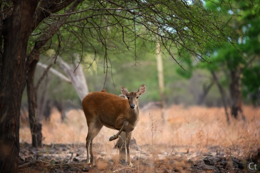 Wild Deer at Baluran Natinal Park, East Java